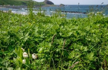 Wild Rebun lady's slipper orchids growing by the sea