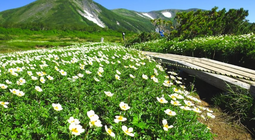 Spring flowers in the Hokkaido Mountains